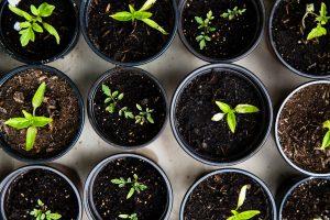 Semis dans des pots